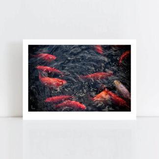 Original Photo Print of 'Goldfish' No Frame