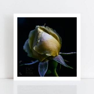 Original Photo Print of 'Lettuce Rose' No Frame